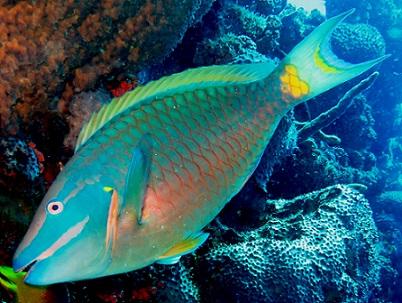 Gutu Parrot fish